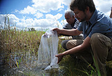 Two men emptying a bag with fish into standing water; the fish eat the mosquito larvae
