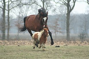 A large brown horse is chasing a small horse in a pasture.