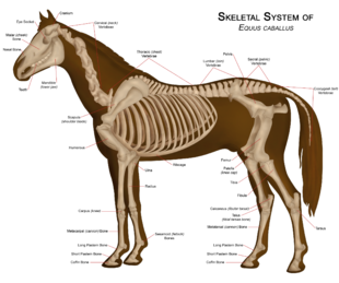 Diagram of a horse skeleton with major parts labeled.