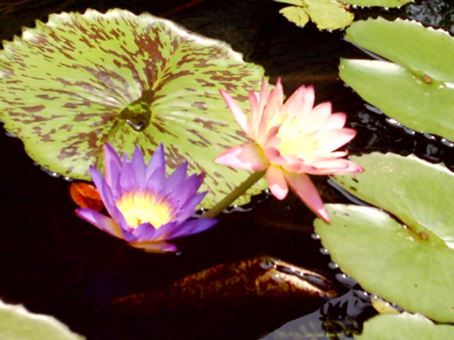 Water lily flower information wikipedia flowers healthy water lily with flower mightylinksfo